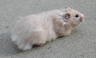 Light Gray Pearl Female