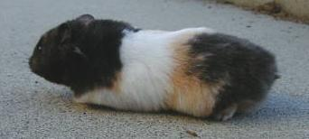 LH Black and Yellow Banded Tri-color (calico)